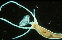 Hydra, a primitive animal of the phylum Coelenterata, reproducing asexually by the formation of buds (left). The parent Hydra ha elongated cylindrical...