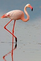 Greater Flamingo (Phoenicopterus ruber). Fuente de Piedra Lagoon. Málaga province. Spain