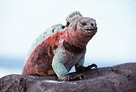 Marine iguana (Amblyrhynchus cristatus). This is the only truly marine lizard. It spends much of its time feeding on seaweed and algae near the shore....