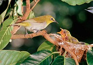 White-eye (Zosterops) with its youngs.