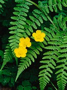 Buttercups with fern. Oregon. USA