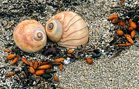 Lewis Moon Snails (Polinices lewisii) on shore. Shore Acres State Park. Oregon. USA