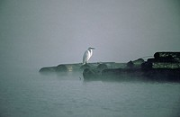 White Egret in fog. Coos Bay. Oregon. USA