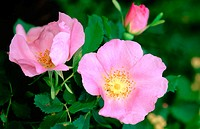 Nootka Rose (Rosa nutkana). Kamiak Butte State Park. Washington. USA
