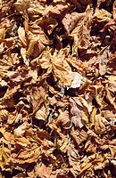 Leaves (thumbnail)