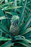 Pineapple. Karnataka. India