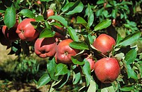 Apples (thumbnail)