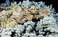 Crocodilefish (Cymbacephalus beauforti).