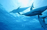 Spotted Dolphins (Stenella plagiodon). Bahamas.