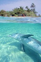 Bottlenose Dolphin (Tursiops truncatus). Anthony´s Keys Resort. Roatan. Bay Islands. Honduras.