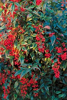"Heavenly bamboo (Nandina domestica ""Variegata"")"
