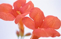 Trumpet Vine (Campsis radicans)
