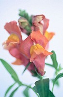 Snapdragon (Antirrhinum hybr.)