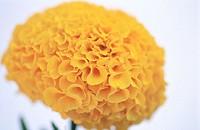 Marigold (Tagetes hybr.)
