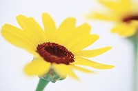 Daisy (Chrysanthemum carinatum)