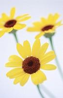 Daisy (Chrysanthemum carinatum)