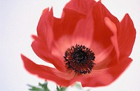 Anemone (Anemone hybr.)