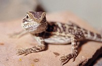 Inland Bearded Dragon (Pogona vitticeps)