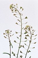Shepherd´s Purse (Capsella bursa-pastoris)