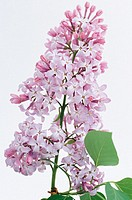 Common Purple Lilac (Syringa vulgaris)