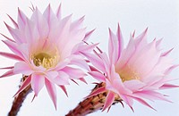 Echinopsis (Echinopsis sp.)