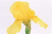 Iris (Iris germanica)