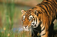 Bengal Tiger (Panthera tigris tigris), captive. India (thumbnail)