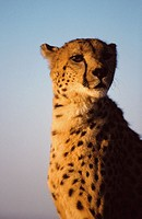 Cheetah (Acinonyx jubatus), captive. Africa