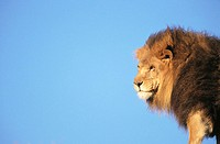 Lion (Panthera leo), captive. African savannah (thumbnail)
