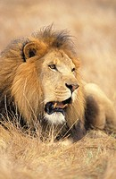 Lion (Panthera leo). Africa