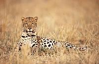 Leopard (Panthera pardus), captive. Africa