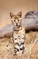 Serval (Felis serval), captive. African savannah