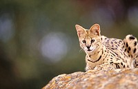 Serval (Felis serval), captive. African sabana