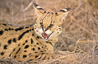 Serval (Felis serval). African savannah