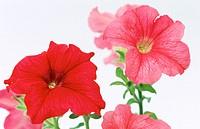 Petunia hybr.