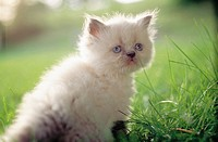 Gray and white himalayan kitten