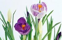 Saffron, Crocus hybr.