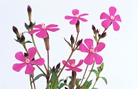 Campion, Silene sp.