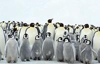 Emperor Penguins (Aptenodytes forsteri). Dawson-Lambton glacier, Antarctica