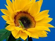 Pacific Treefrog Sunflower