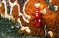 Shrimp (Periclimenes imperator) on Sea Cucumber. Indonesia