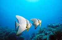 Dusky Batfish (Platax pinnatus). Indonesia