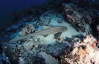 Leopard Shark