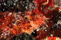 Tassled Scorpionfish (Scorpaenopsis oxycephalus)