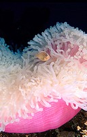 Pink Clownfish (Amphiprion perideraion) on bleached sea Anemone