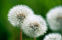 Common Dandelion seeds (Taraxacum officinale)