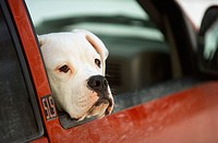 American Bulldog inside a car