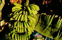 Bananas. La Gomera Island. Canary Islands. Spain