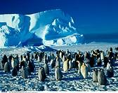 Antarctica, Atka Bay, Emperor Penguins