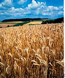 Grain field, Barley, Agriculture